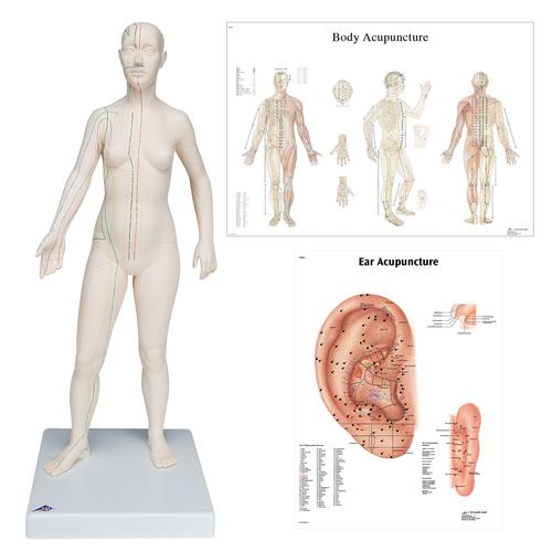 Female Acupuncture model with body and ear charts - 3B Scientific