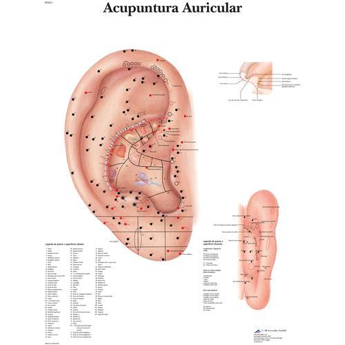Ear Acupuncture - portuguese - 4007020 - 3B Scientific - VR5821UU