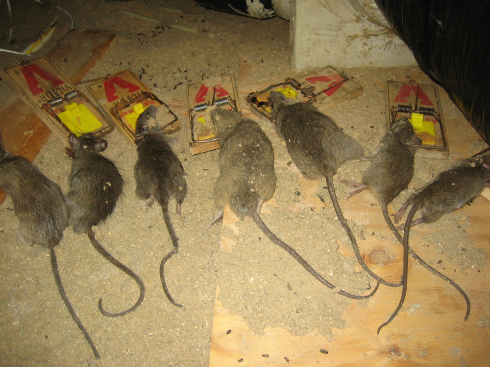 Rat Photograph 003 - Some attics are infested with rats.