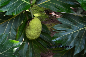 Image result for breadfruit leaf tea 300 x 200