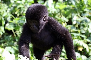 5 Days Bwindi and Queen Elizabeth National Park Safari
