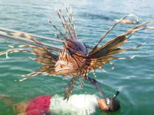 This is a good picture of a Lionfish on a spear.