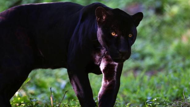 Black Panther Animal Wallpaper Detenido Un Hombre En Almer 237 A Que Ten 237 A Una Pantera Negra