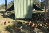 A metal shed with raised sides and chickens all around it.