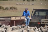 Alan Johnston feeding sheep on his property, on the drought-hit Tasmanian east coast, October 2018.