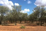 Mulga trees on red soil with a blue sky.