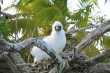 A booby chick on the nest over a coral reef lagoon