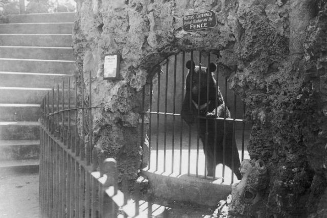A black and white photo of a bear in an old enclosure behind a barred door and rock wall.
