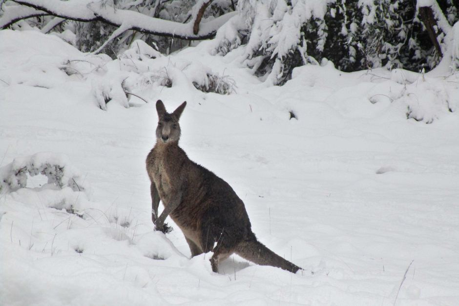 Cat In Fall Wallpaper White Roo In The Snow Abc News Australian Broadcasting
