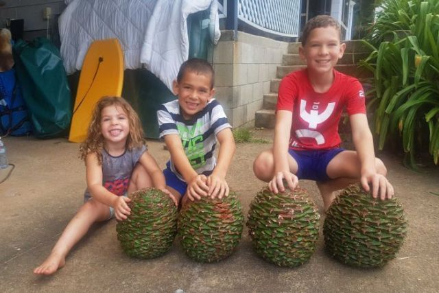 Three children holding four large Bunya cones (which are about the size of a soccer ball)