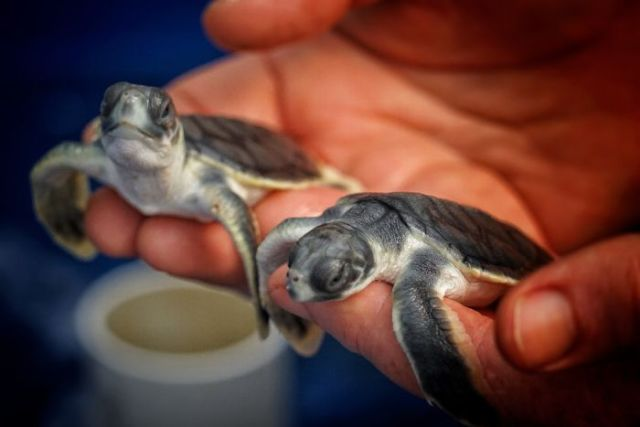A person holds a baby turtle in each hand