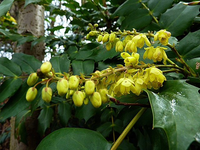 Lilium tigrinum splendens now i ask you how eye catching for Mahonia japonica