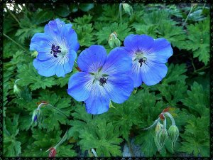 Geranium Jolly Bee (2)