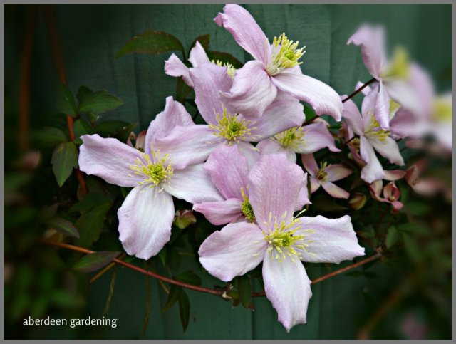 clematis montana grandiflora is a strking climber. Black Bedroom Furniture Sets. Home Design Ideas