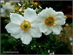 Japanese Anemone Honorine Jobert  (2)