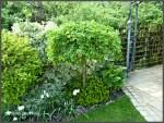 Caragana arborescens (7)
