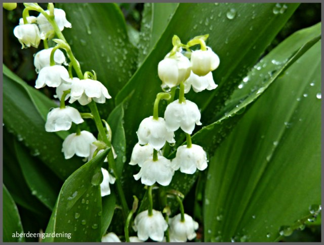 Lily of the valley 'Convallaria Majalis' (12)