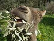 Donkey eating olive leaves