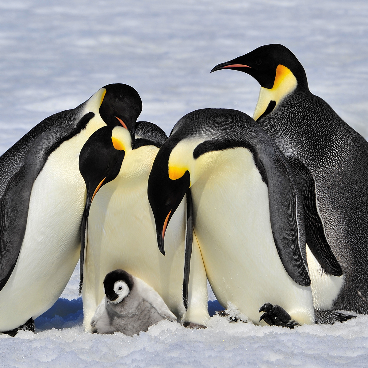 Baby emperor penguin stays with its parents at the polar house of - Baby Emperor Penguin Stays With Its Parents At The Polar House Of Baby Emperor Penguin Download