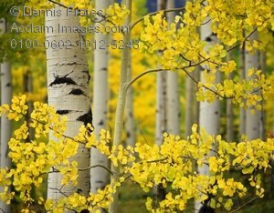 Birch Tree Fall Wallpaper Close Up Stock Photo Of Line Of Fall Colored Aspen Trees