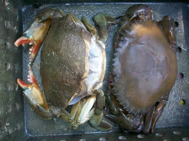 Kepiting Lunak Sulit Dipasarkan