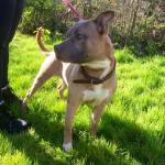 Rosco, Staffordshire bull terrier, 2 years old, Male