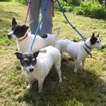 JJ, Babay, Angel, Jack Russells, 6 years old