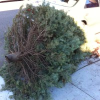 Christmas tree pickup continues through January. (File photo)