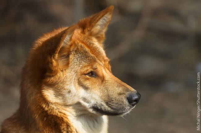 Red Black And Cream Wallpaper Dingo Facts Info Amp Pictures Life Habitat Diet Threats