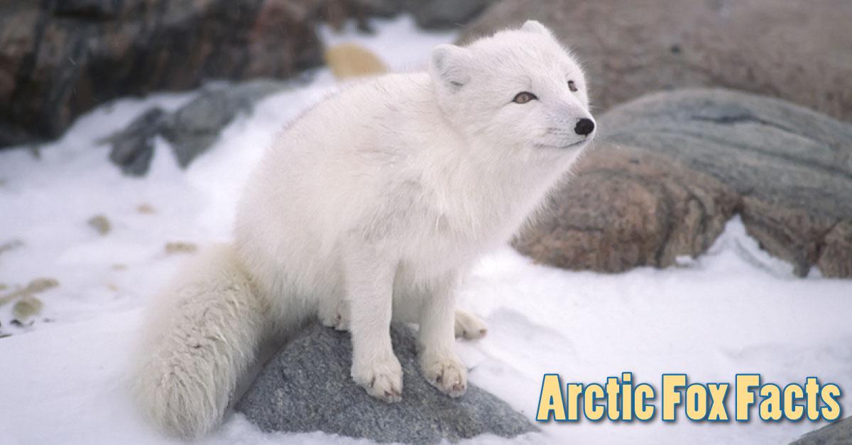 Cute Moose Wallpaper Arctic Fox Facts Amp Information For Kids Habitat Amp Adaptations