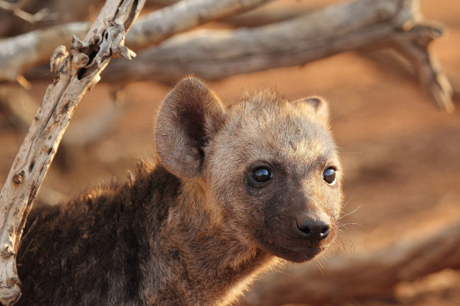 Cute Cubs Wallpaper Spotted Hyena Facts Pictures Amp Video In Depth