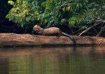 lobo de río - Thomas Muller SPDA