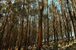 Bosque de Eucalipto en Melga, Cochabamba