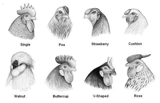 start to grow anatomy of a chicken