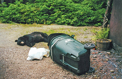 Living In Harmony With Bears Bears And Food Alaska