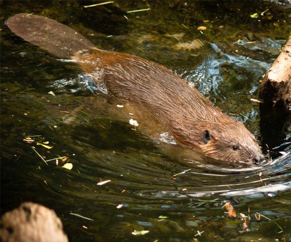 Adirondack Fall Wallpaper Facts About Beavers In The Adirondacks