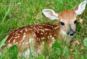 Whitetail Fawn Adirodnacks