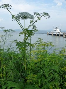 Giant hogweed has white, umbrella-shaped flowers.  Photo courtesy of the Adirondack Park Invasive Plant Program.