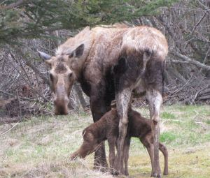 moose_newborn_calf_homer.both1JPG(1)