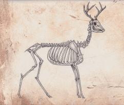 skeleton_anatomy__deer_by_omgshira-d3gfz9j
