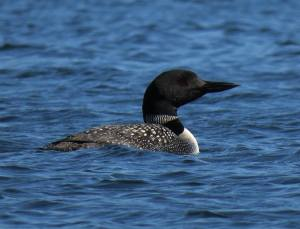 New York Loon Census July 18