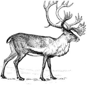 woodland caribou drawing by wikimedia user foresman