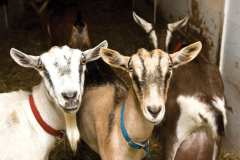 Goats at Asgaard Farm in the Ausable Valley.