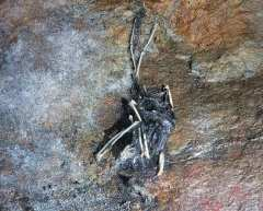 The remains of a diseased bat on a rock wall. Photo by Carl Heilman II