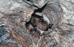 Bats snuggle in a bore hole in the mine. Photo by Carl Heilman II