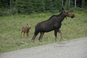 cow moose and calf AH