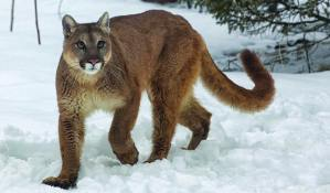 Adirondackers continue to report cougar sightings, but physical evidence is lacking. (This photo was taken in Montana.) Photo by BigStockPhoto.com