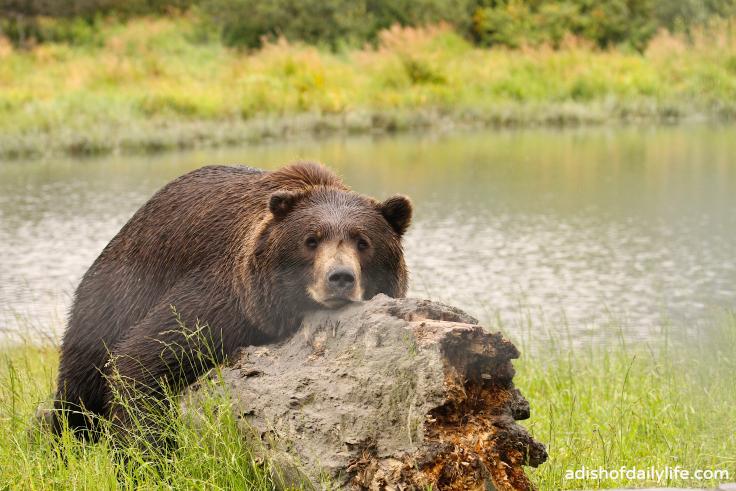 AWCC Brown Bear