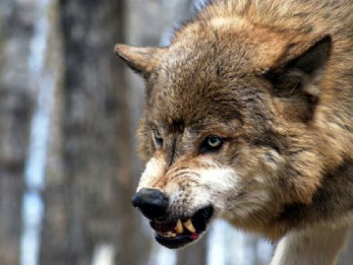Pilot Quotes Wallpapers Wolf Attacks Dog North Of Anchorage Alaska Dispatch News