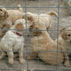Golden Retriever Puppies ,